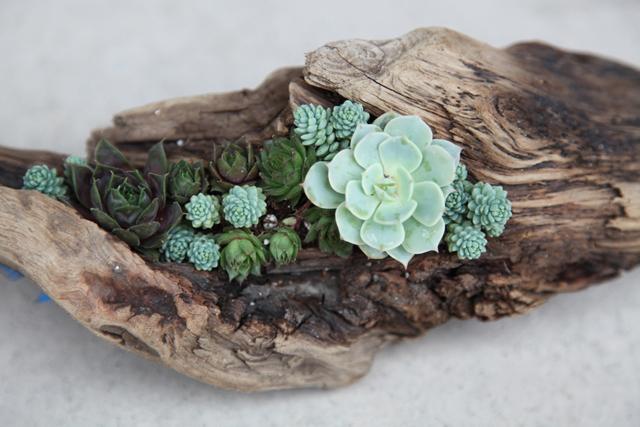 driftwood_succulents_640