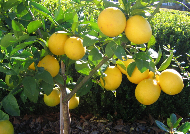 lemon_tree_installation_service
