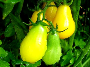 Yellow Ppear Tomatoes